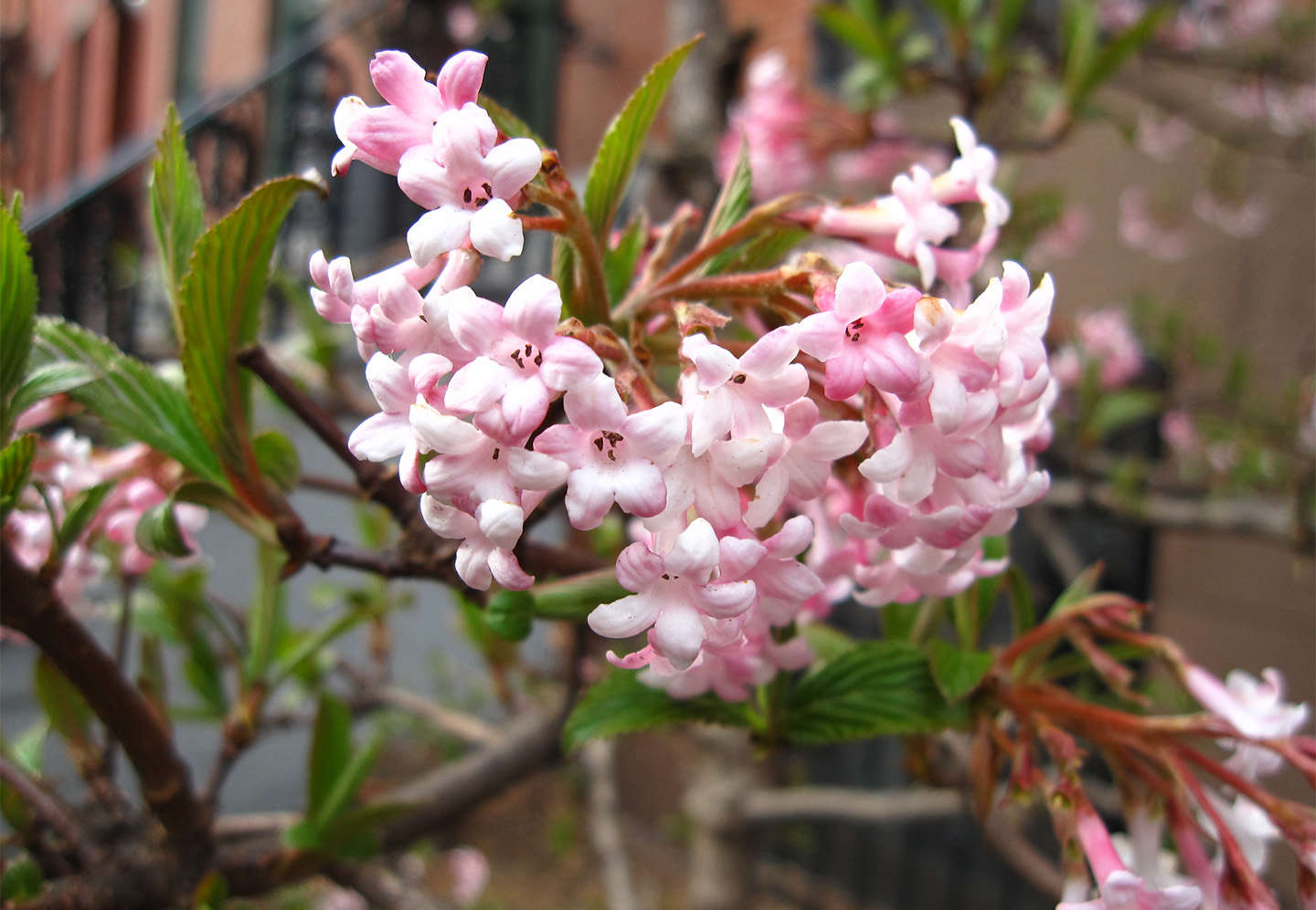 Winter viburnum pretty in pink gardenista winter viburnum pretty in pink mightylinksfo