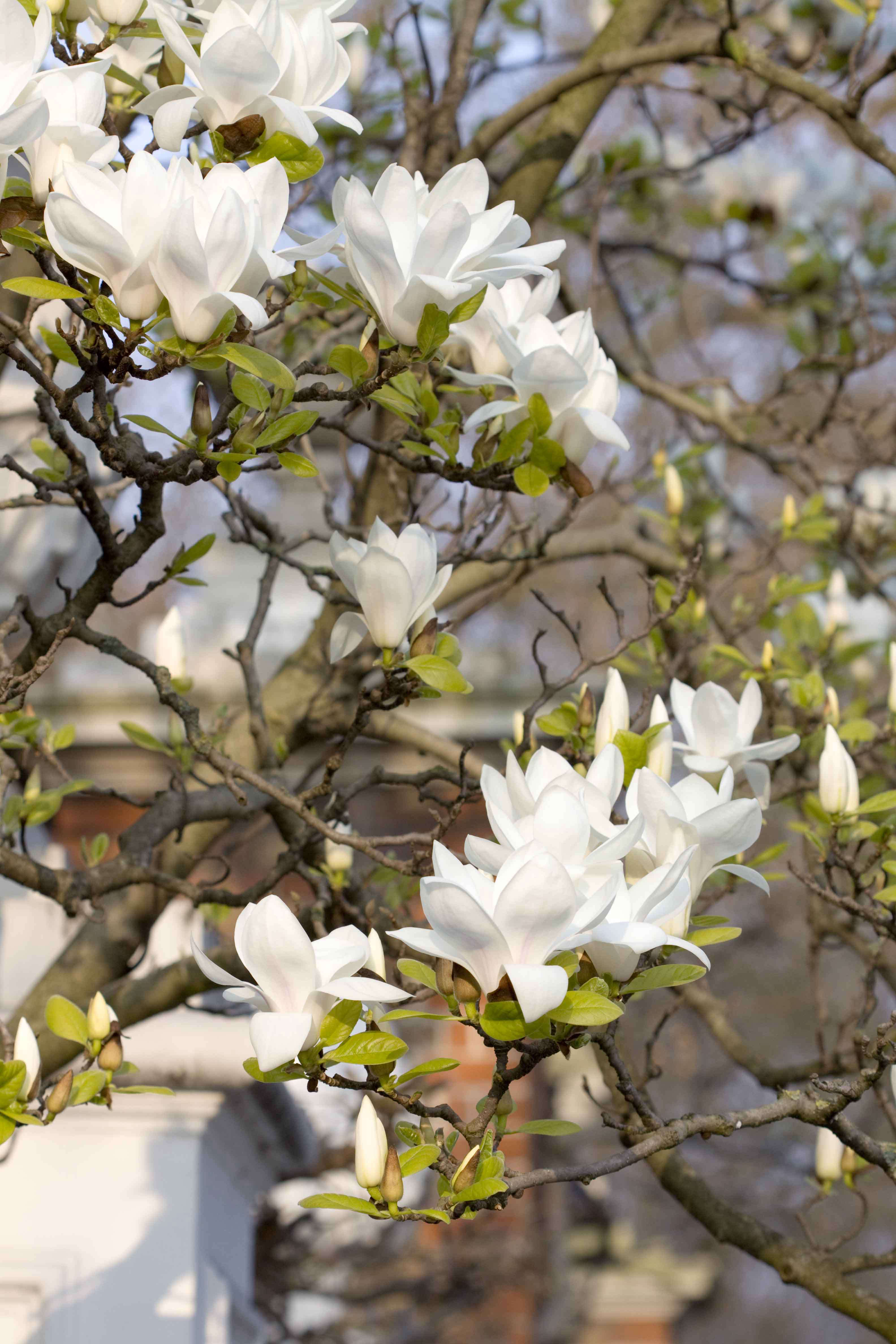 Insiders London Where To See Magnolias In Bloom Gardenista