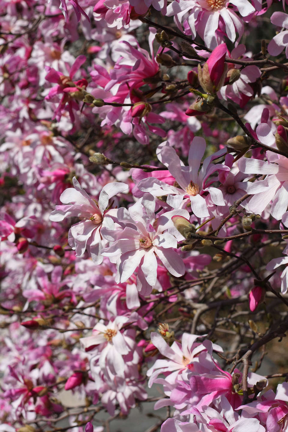 8 cold climate flowering shrubs and small trees for early spring star magnolia mightylinksfo