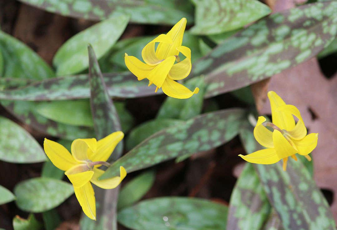 Native Perennials For A Shade Garden 9 Favorites For Cold Climates