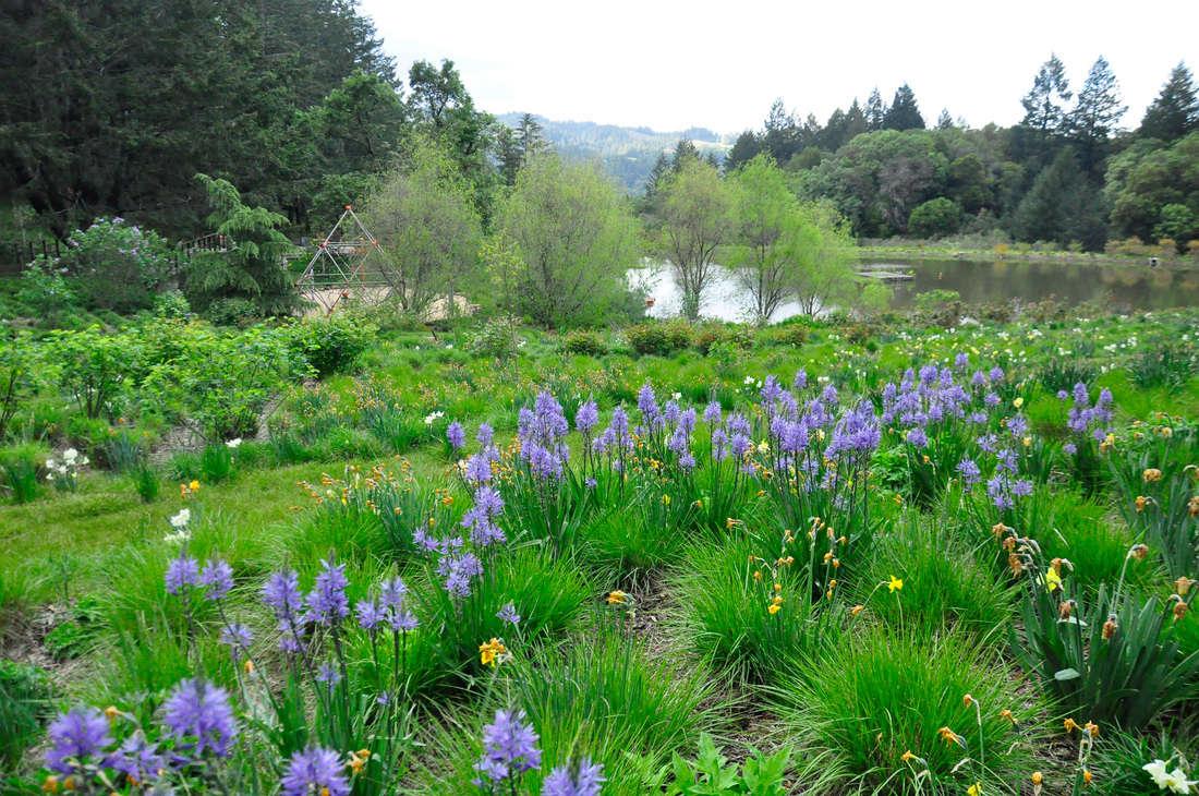 Expert advice 8 tips for a meadow garden from grass guru john above blue camassia flowers emerge in a meadow in springtime izmirmasajfo