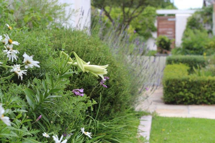 cape town garden nightscent lilies gardenista 733x489