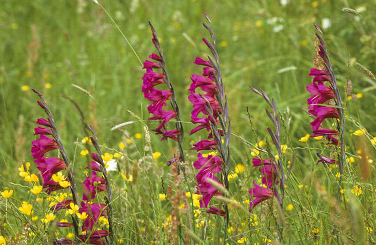 Gladiolus communis ssp byzantinus in the meadow at Great Dixter