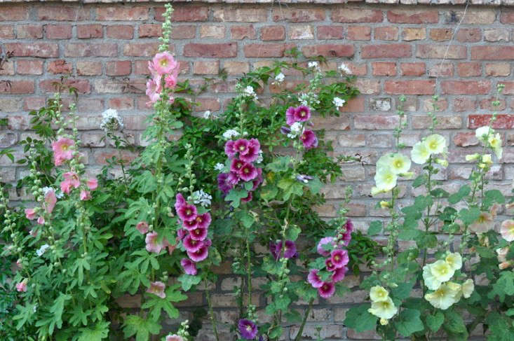 Hollyhocks grow against a wall in a cottage garden in Germany. For more of this garden, see Garden Visit: At Home with Katrin Scharl in Brandenburg, Germany. Photograph by Justine Hand.
