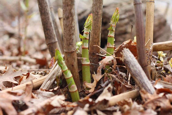 japanese knotweed shoots2_marie viljoen