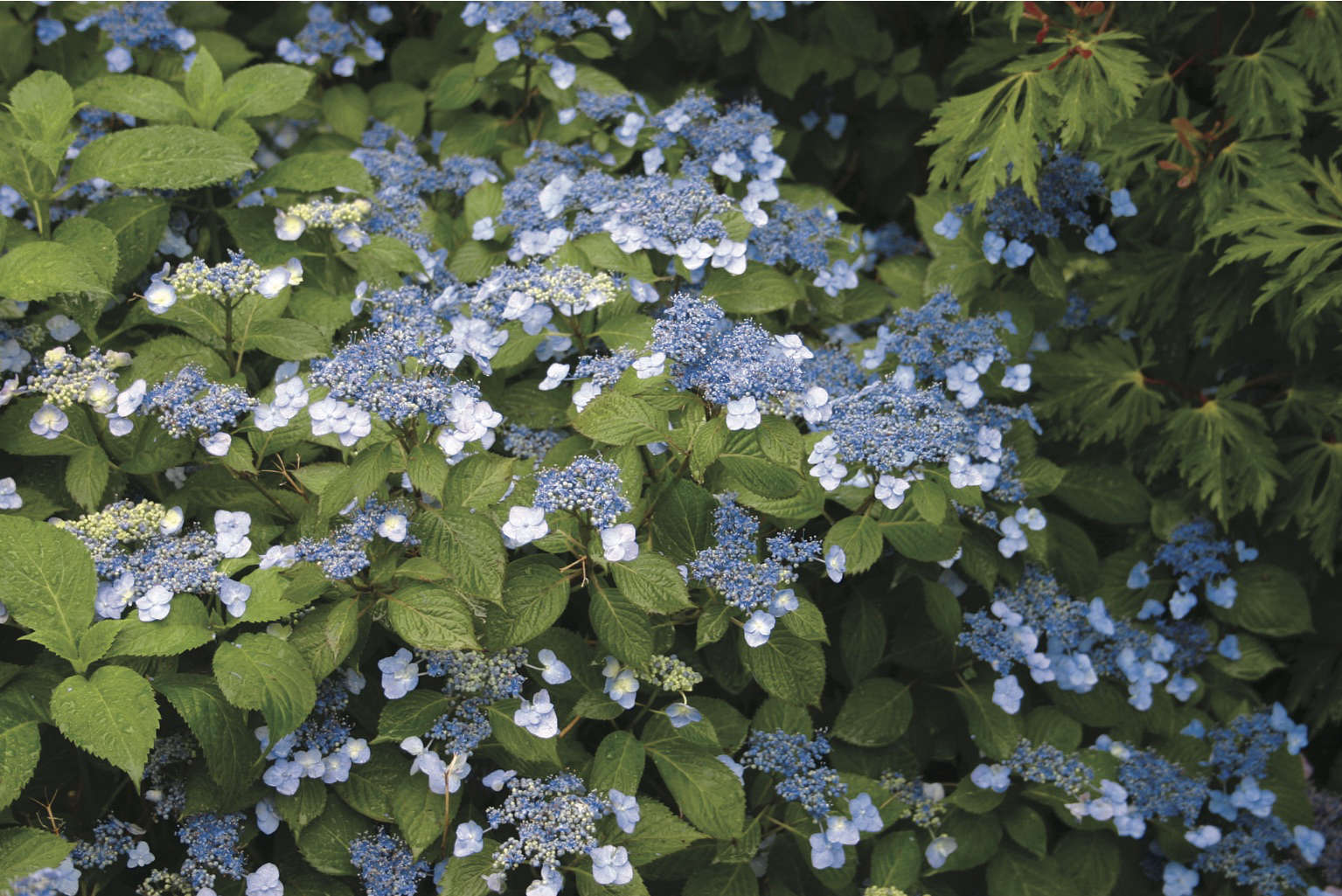 Hydrangeas how to change color from pink to blue gardenista what hydrangea colors are most common hydrangeas blue billow hydrangea white flower farm mightylinksfo