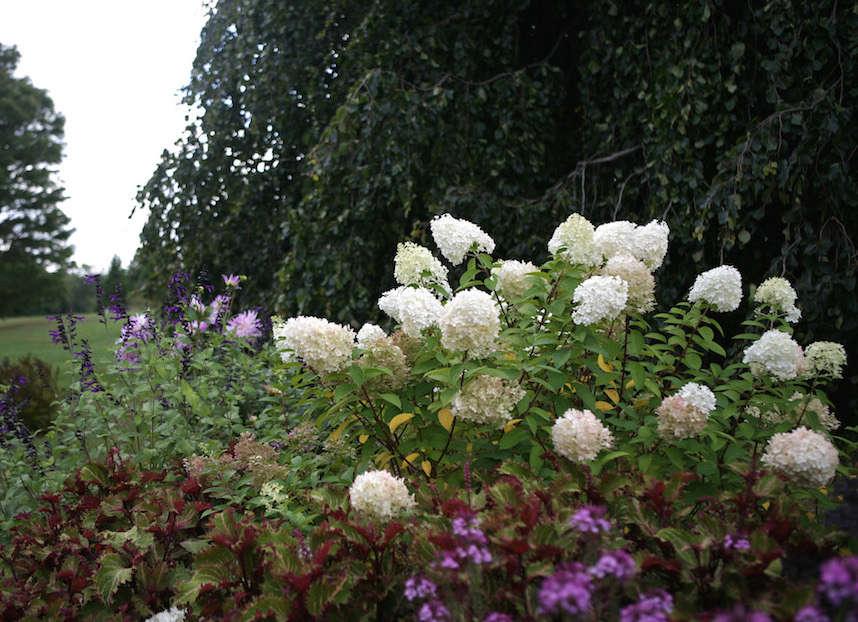 A master class in pruning hydrangeas from white flower farm gardenista bobo hydrangea from white flower farm gardenista mightylinksfo