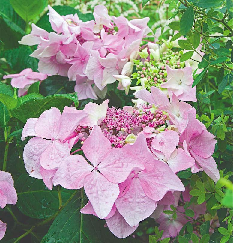 hydrangea from white flower farm gardenista
