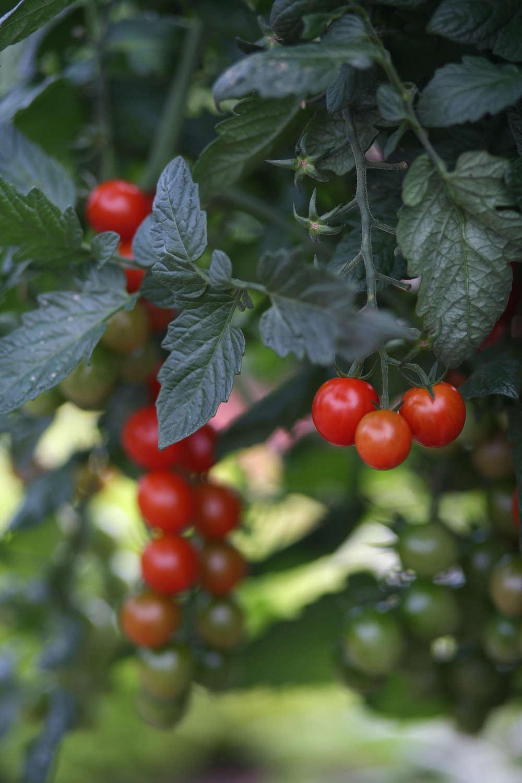 One Week Away The Great Tomato Celebration At White Flower Farm