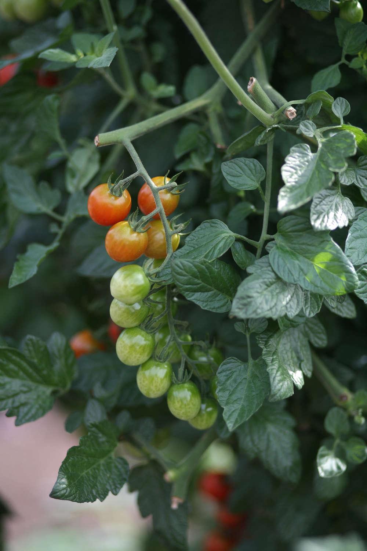 One week away the great tomato celebration at white flower farm tomatoes at white flower farm gardenista mightylinksfo