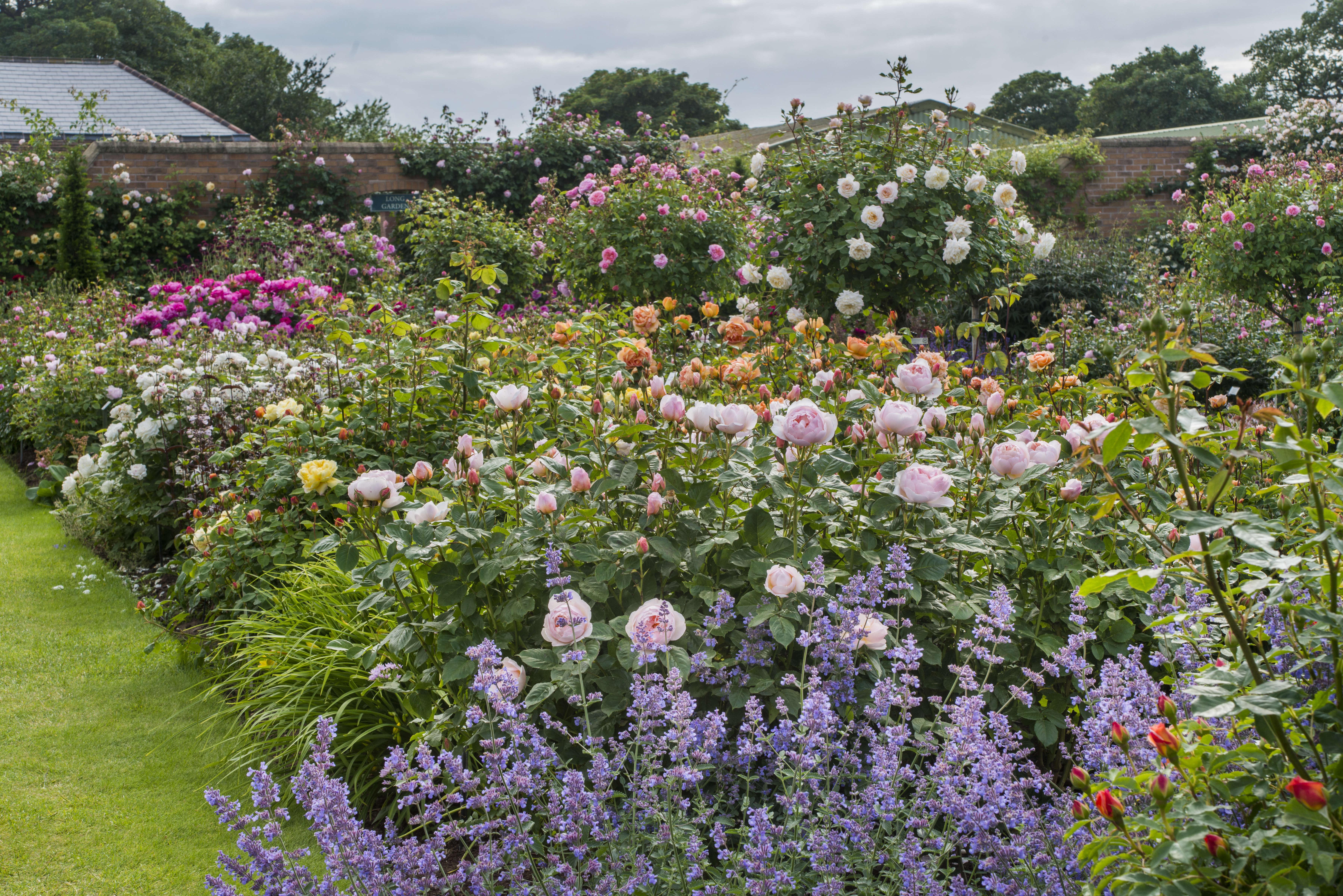 93f759aba85d46 David Austin Roses  Visit the Shropshire Growing Fields