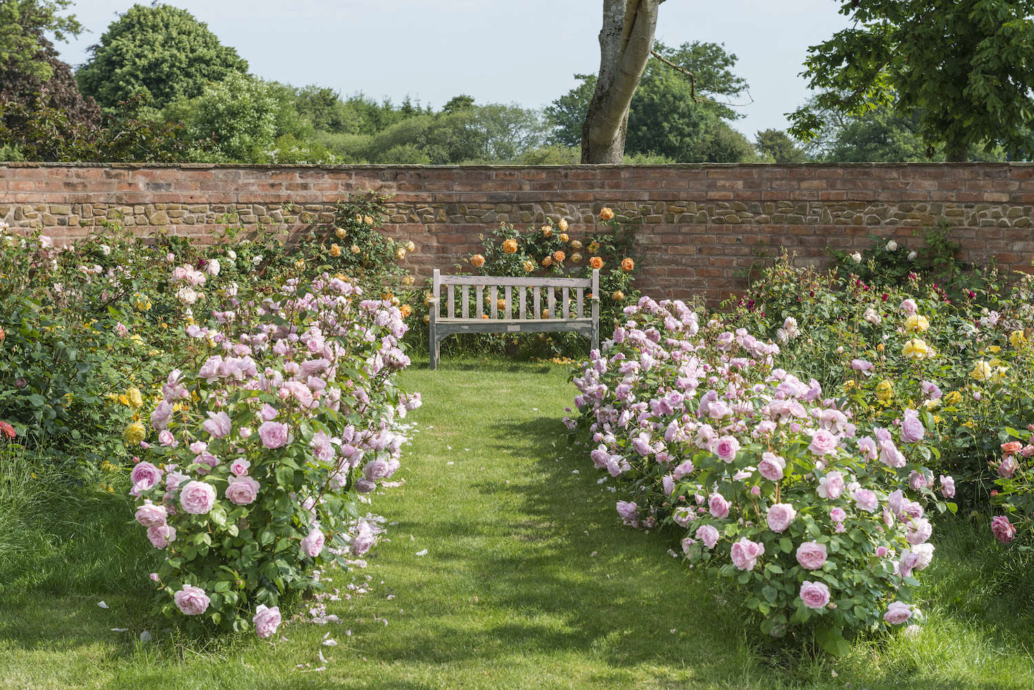 David Austin Roses Visit The Shropshire Growing Fields