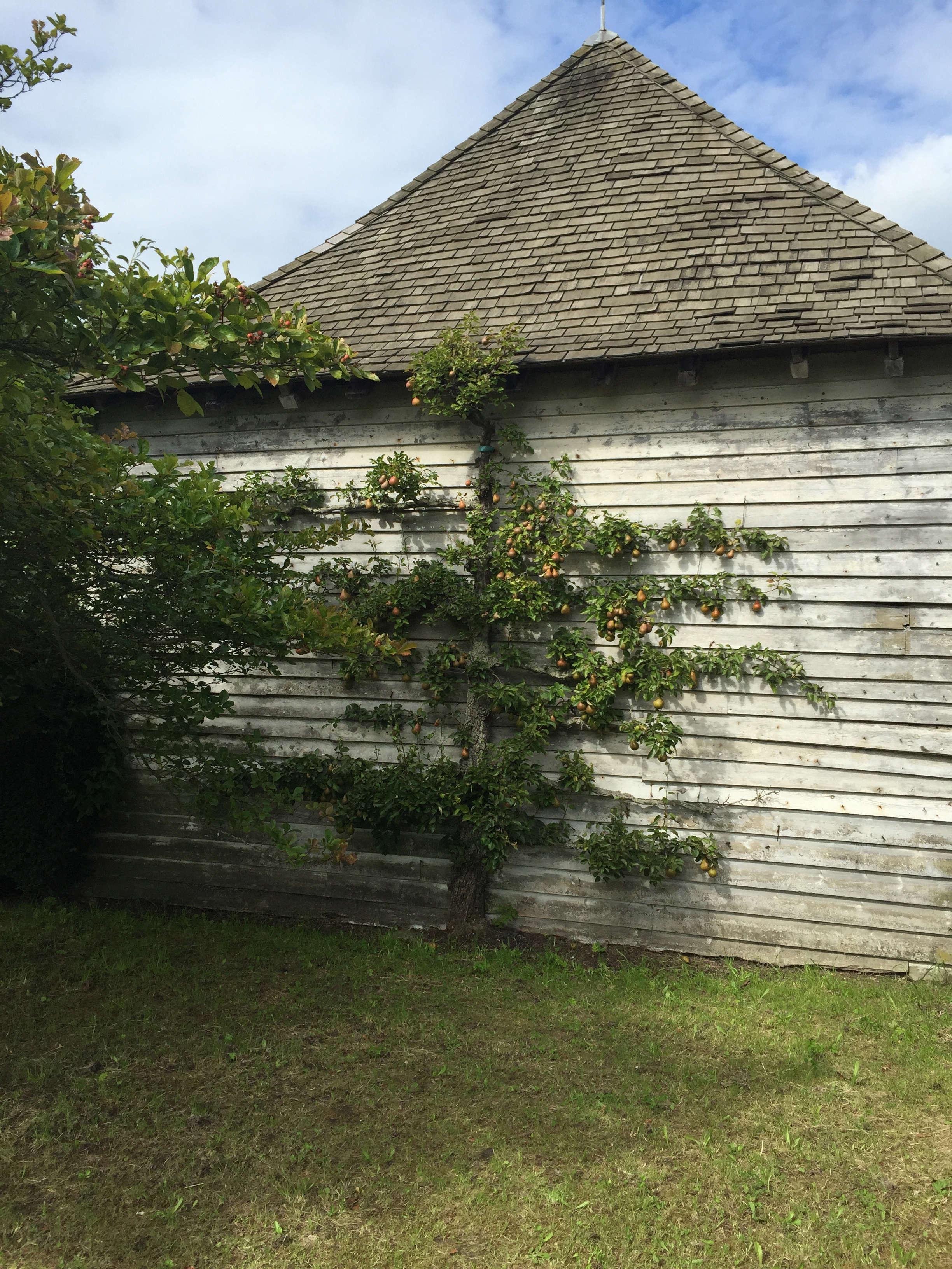 Diy An Espalier Tree Screen Gardenista