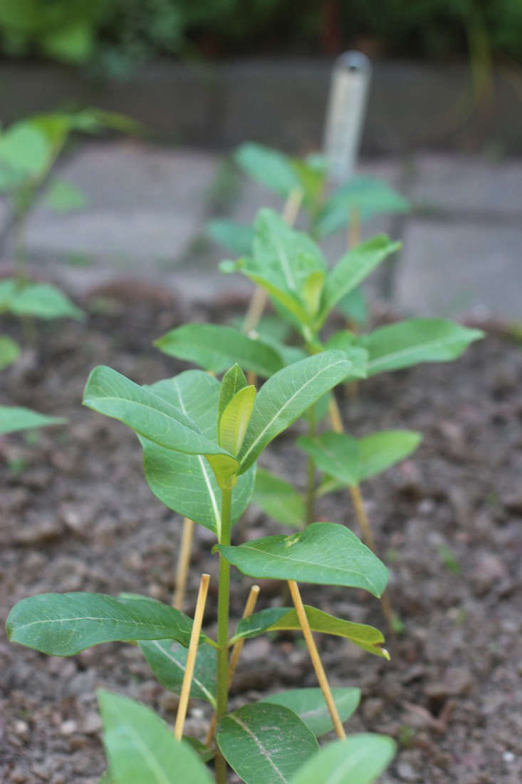 garden_milkweed_marieviljoen_gardenista