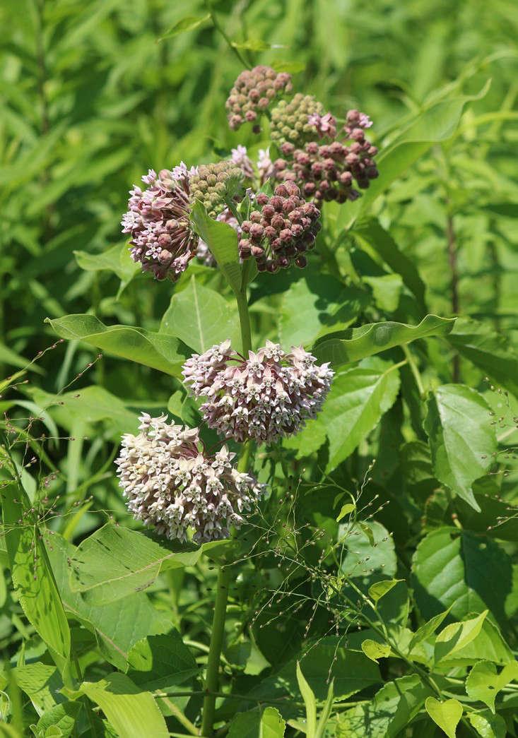 summer_milkweed_marieviljoen_gardenista