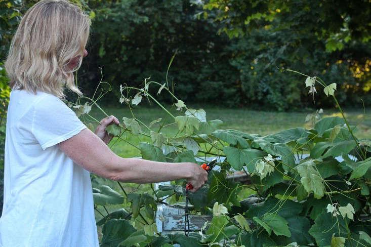 cutting-grape-vines-gardenista