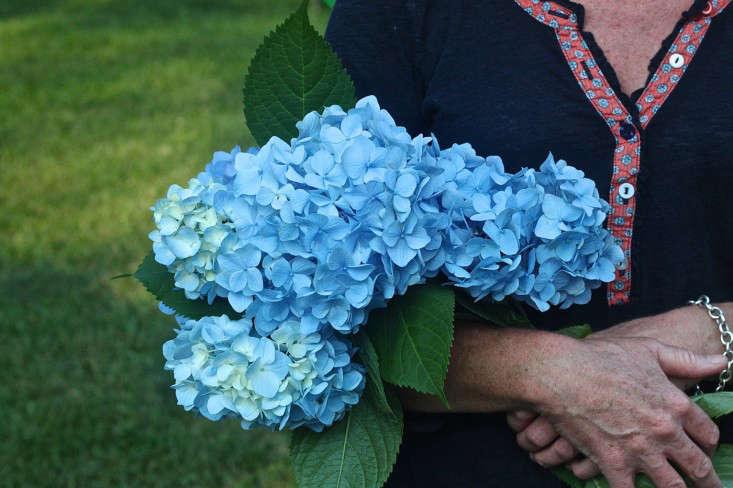 hydrangeas-by-Justine Hand-Gardenista