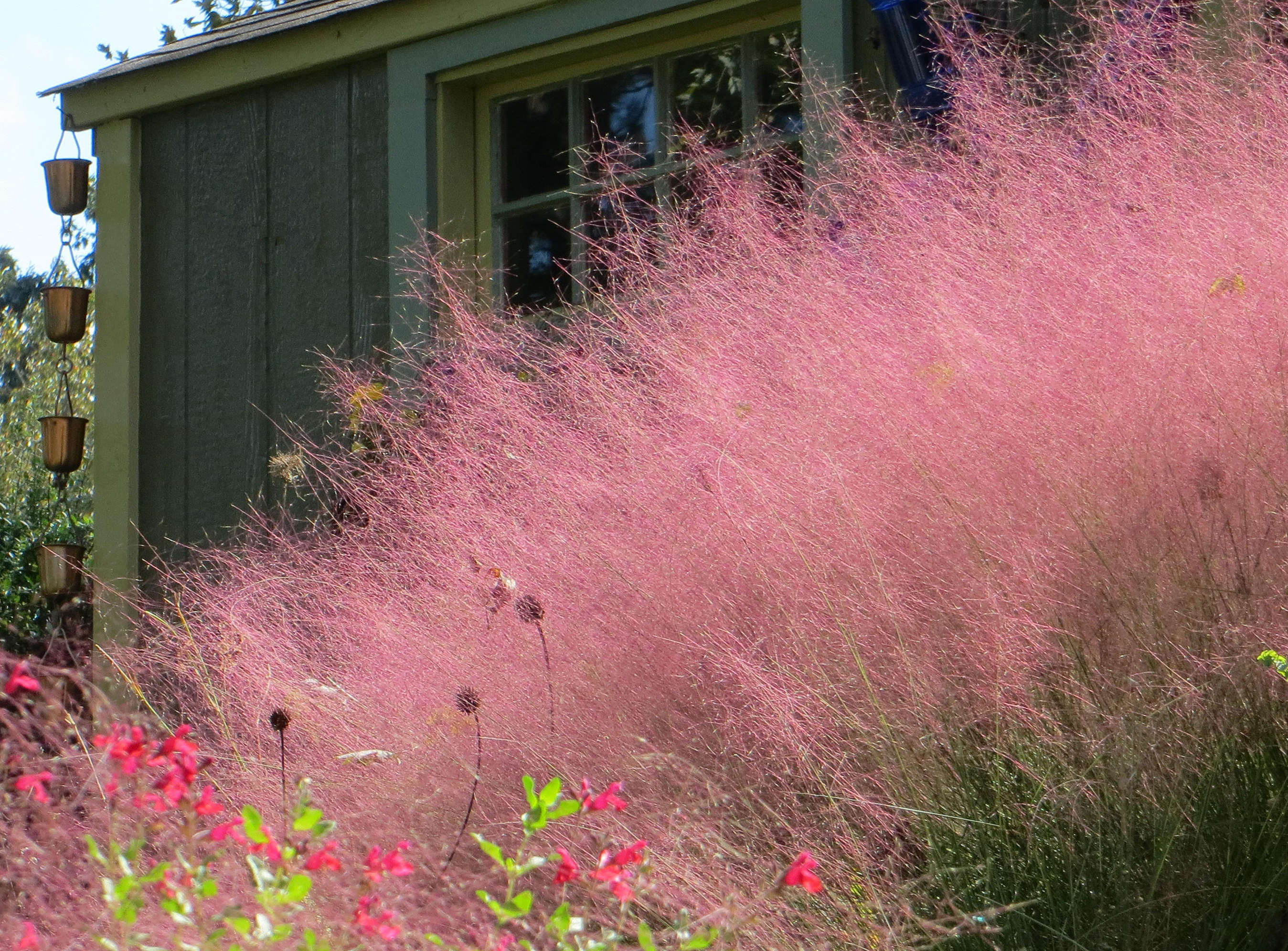 Pink Grasses 11 Ideas For Muhlenbergia In A Landscape Gardenista