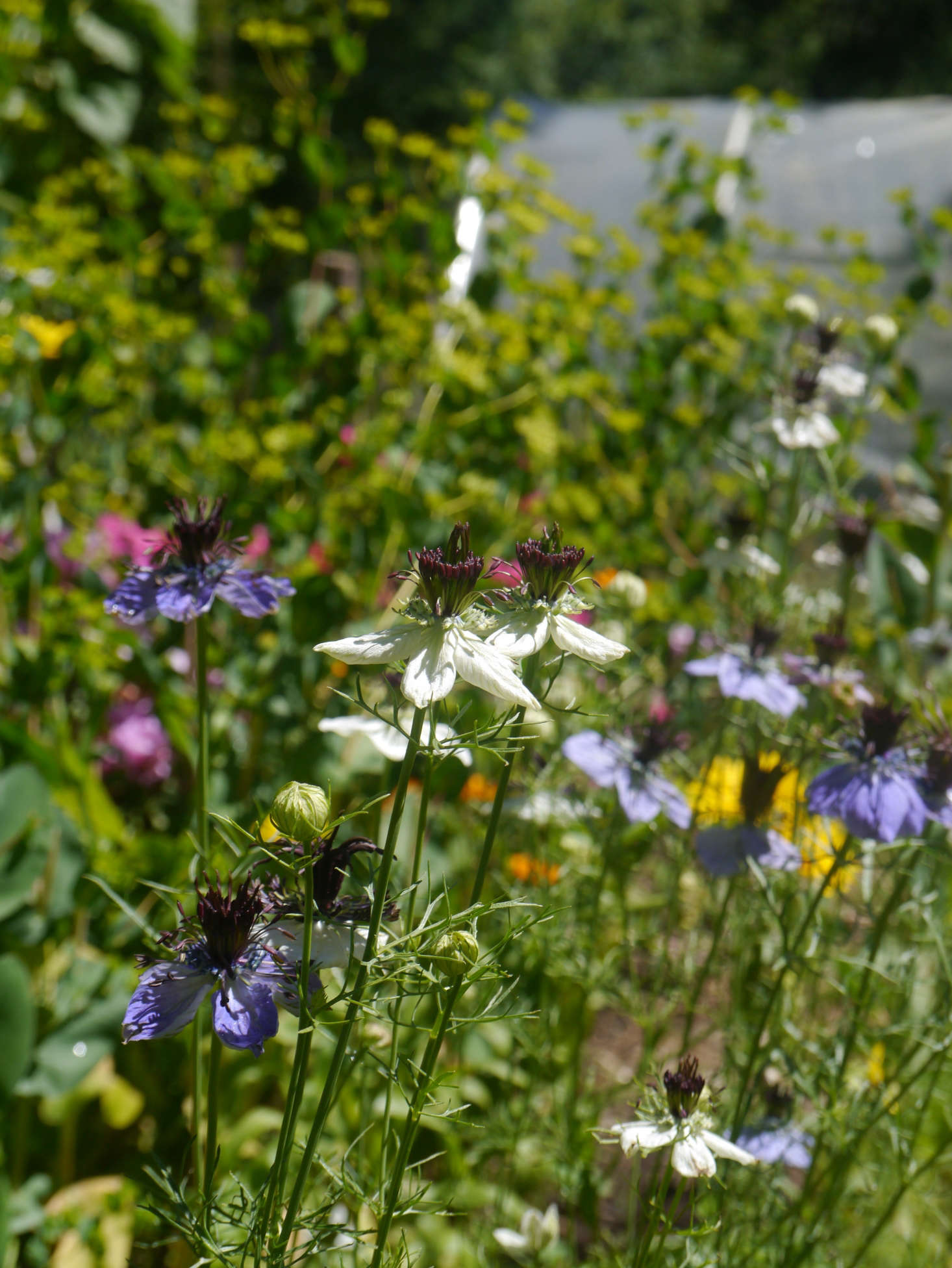 Love-in-a-Mist: What You Need to Know to Successfully Grow