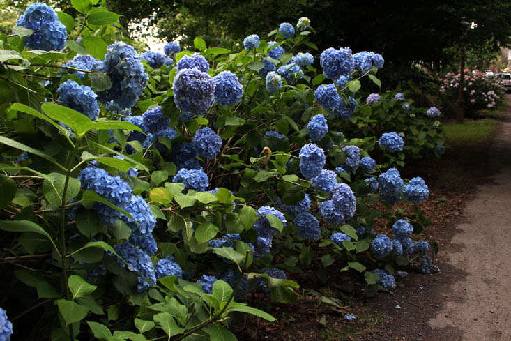 Photograph by Kendra Wilson, from Hydrangeas: How To Change Color from Pink to Blue.