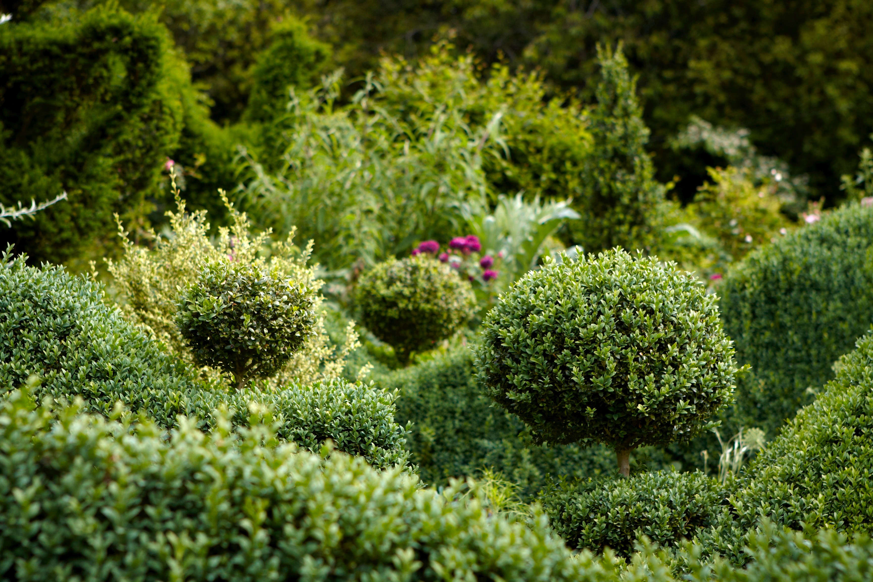 Why Did English Boxwood Become So Popular?