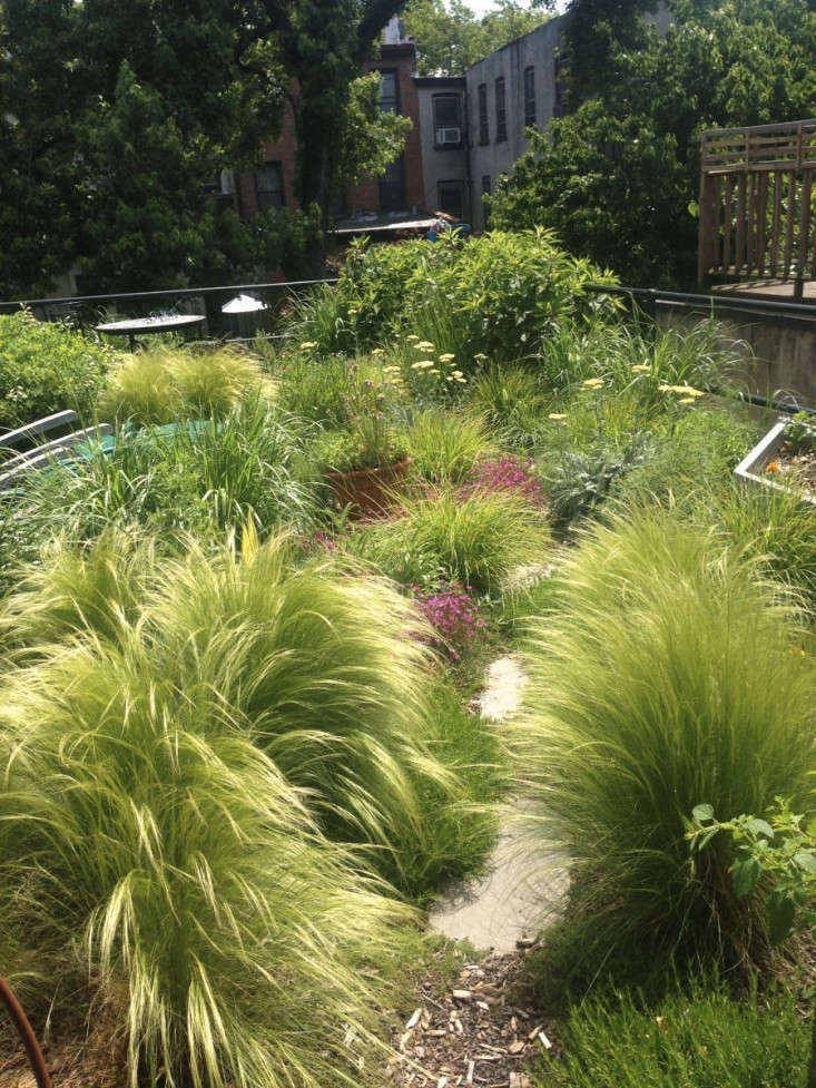 mexican garden design. mexican feather grass brooklyn roof garden gardenista Gossamer Gardens  11 Ideas for Landscaping with Mexican Feather