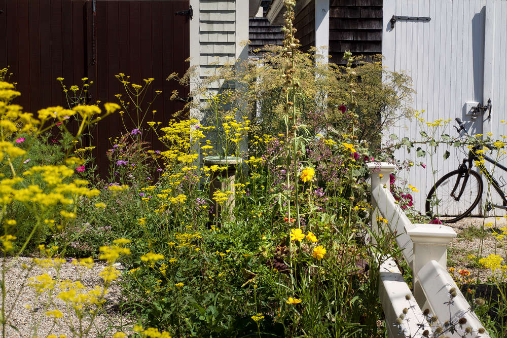 """""""Few would dare to work with the acid yellow of Patrinia, but against this chocolate door on Cape Cod it really works,"""" says Justine. """"In this clamshell driveway, where this perennial self-seeds to wild effect, designer Tim Callis paired Patrinia with fennel and oregano."""" Photograph by Justine Hand."""