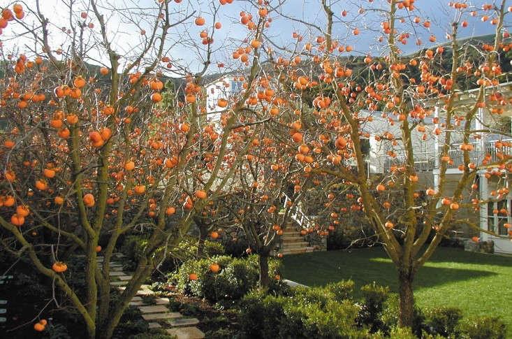 Specimen Trees: Are They Worth It? - Gardenista