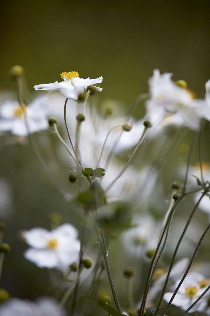 anemones-white-britt-willoughby-dyer-gardenista-BN2A0042