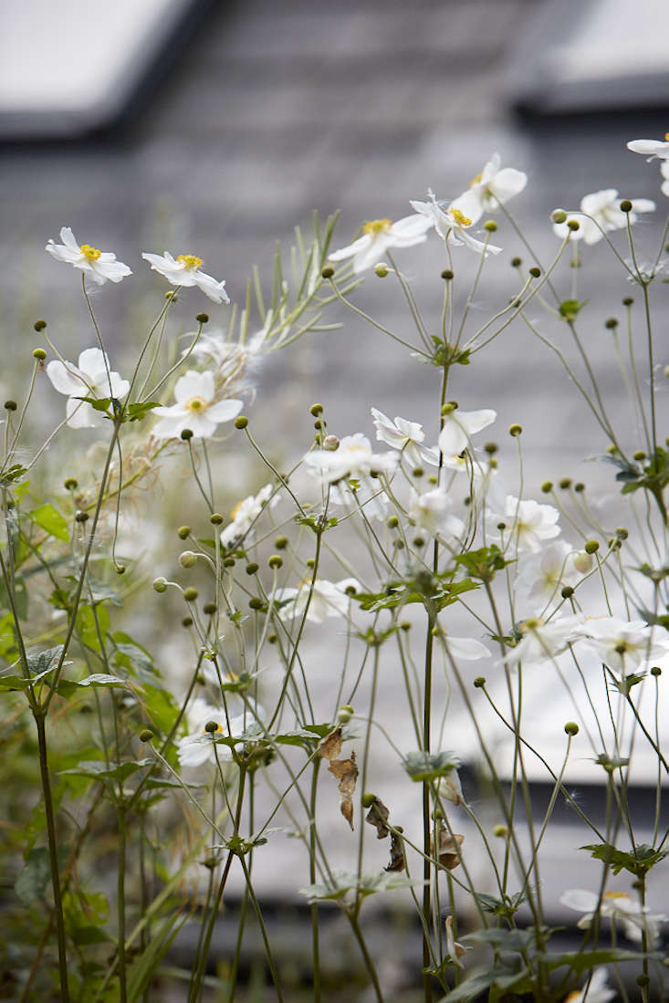 Today theplant has been re-named Anemone hupehensis, or Chinese anemone. It is a native of Hupeh province in eastern China. The Victorian plant hunter Robert Fortune discovered it growing in a cemetery in Shanghai and introduced it inEurope in 1844.