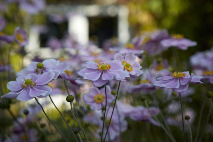"""There are a variety of theories on how these plants acquired the name """"windflowers."""" The Greek word for wind is """"anemos"""" and the word """"anemone"""" is translated as """"the daughter of the wind."""" The Roman scholar Pliny the Elder declared, rather fancifully, that anemone flowers were opened by the wind."""