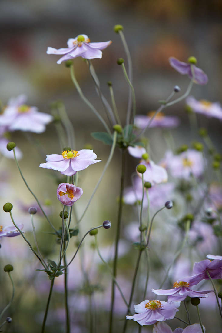 But the name may simply have come from a gardener'sobservation that the delicate branching stems are easily set in motion by even the slightest breeze, causing the flowers to dance in the wind.