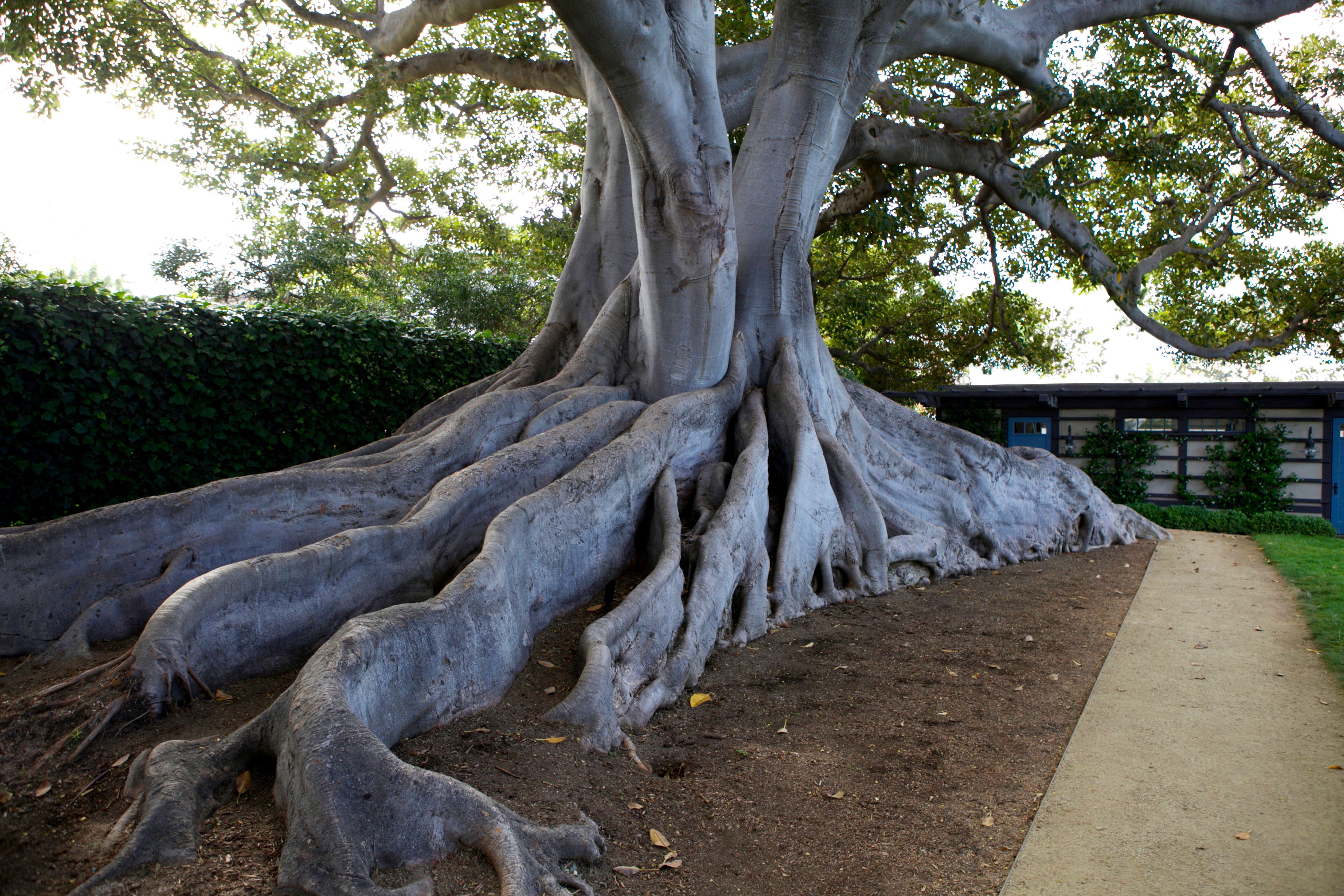 "Ficus macrophylla or a ""Moreton Bay fig.&#8"