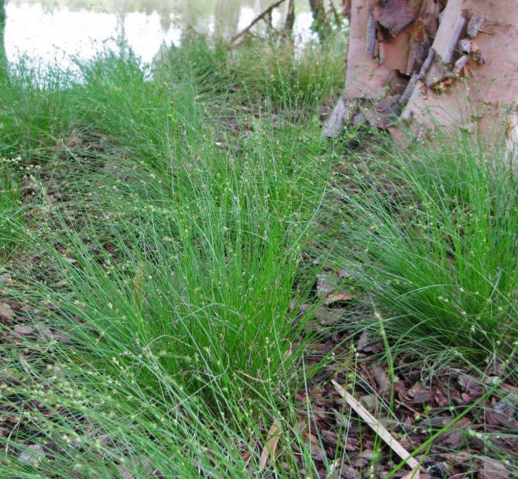 Some Carex species (sedges) require damp or wet conditions while others are relatively drought-tolerant. Carex appalachica, above, is native to woodlands in the eastern United States. Photograph courtesy of Hoffman Nursery, from Gardening 101: Carex