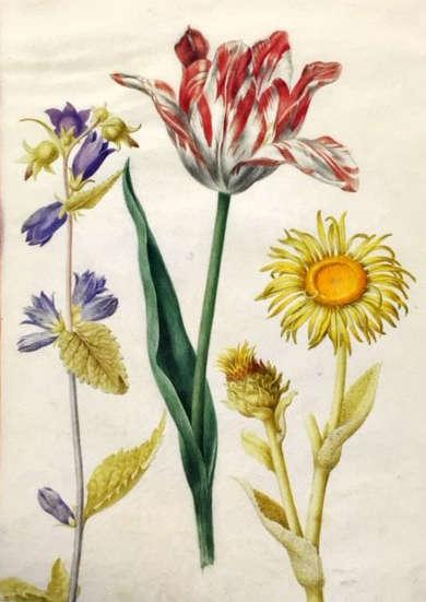 Mellon collection Robert watercolor tulip campanula sunflower watercolor NYBG