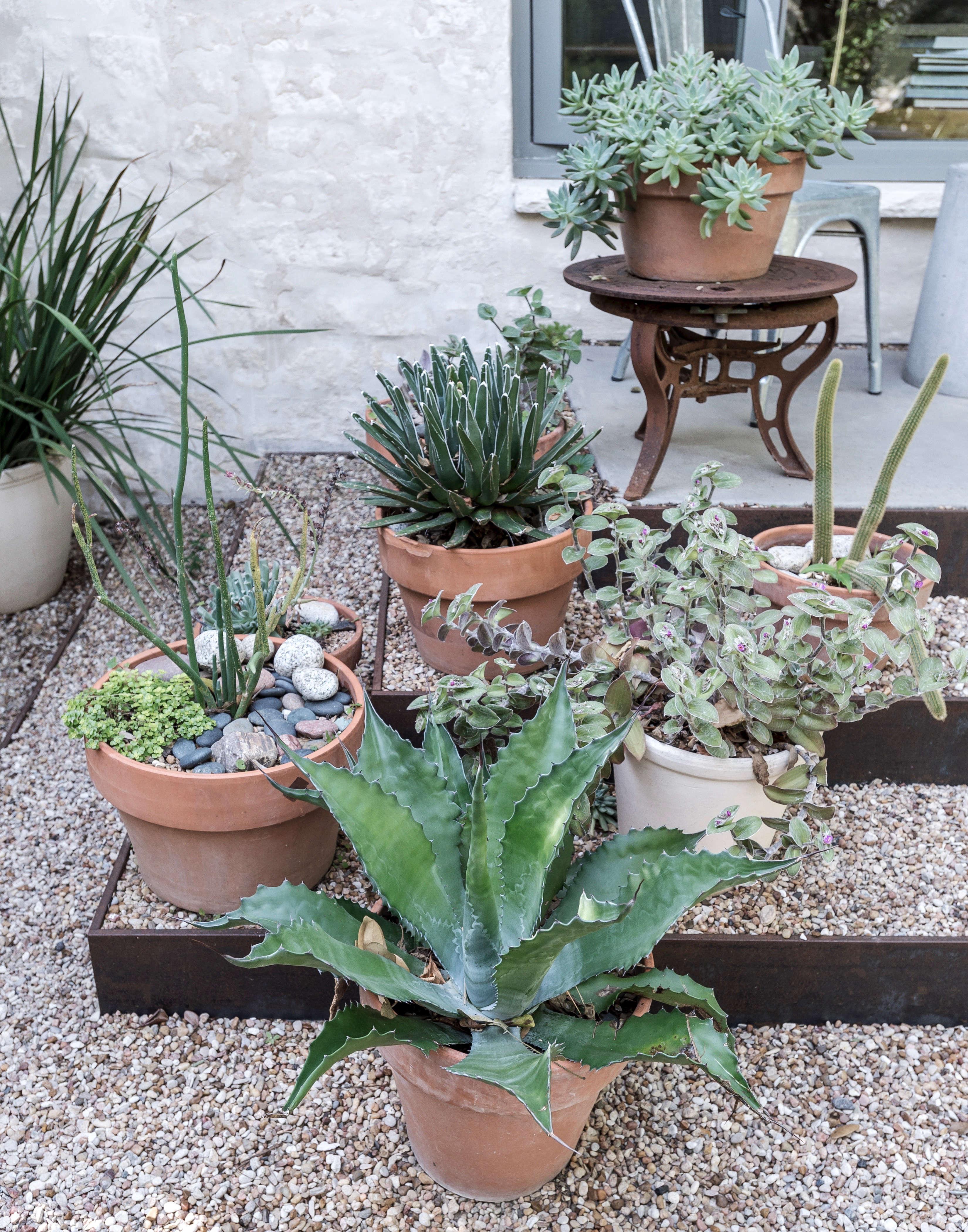 Gardening 101 Agave Gardenista