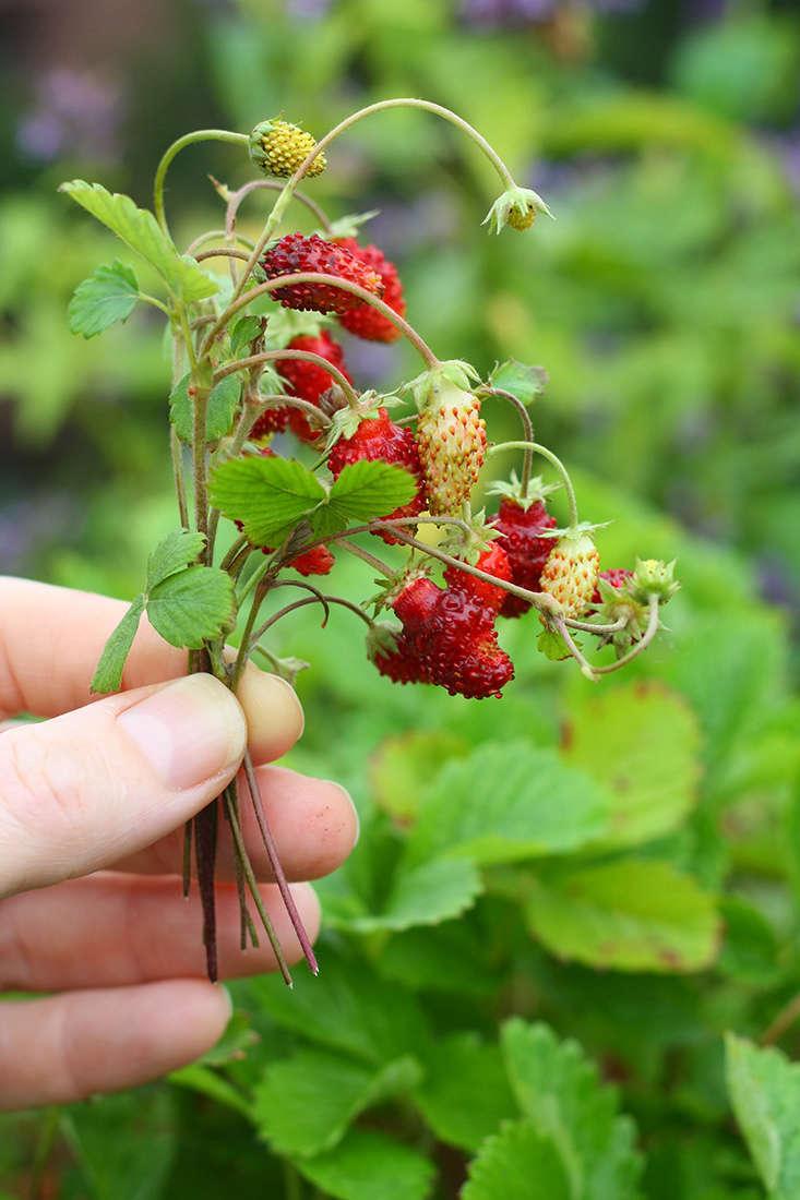 Flowers that bloom in shade - Alpine Strawberries Grow In Shade Marieviljoen