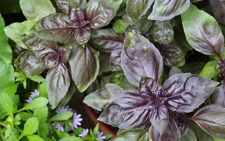 basil-can-grow-in-shade-marieviljoen