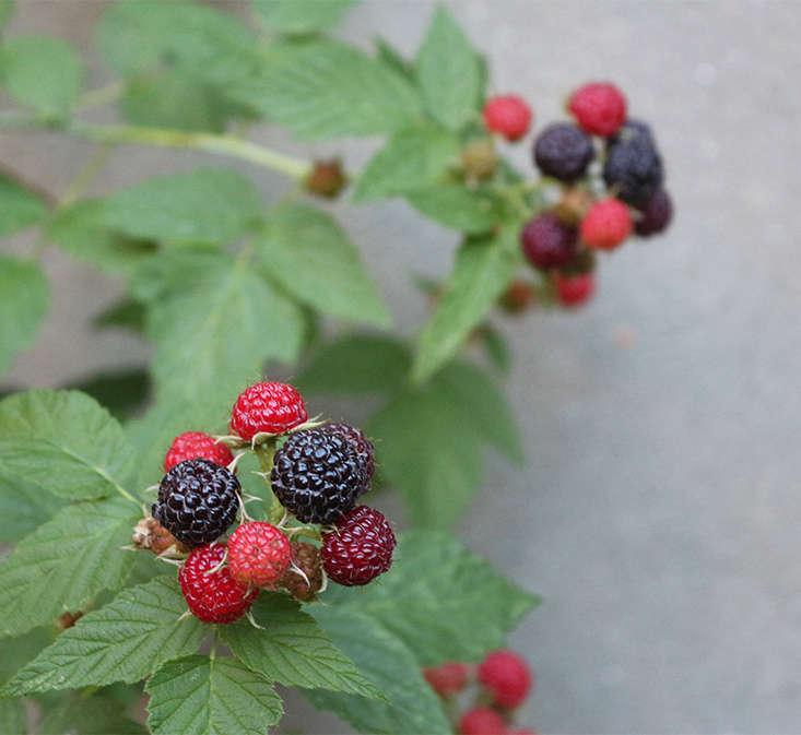 black-raspberries-in-shade-marieviljoen
