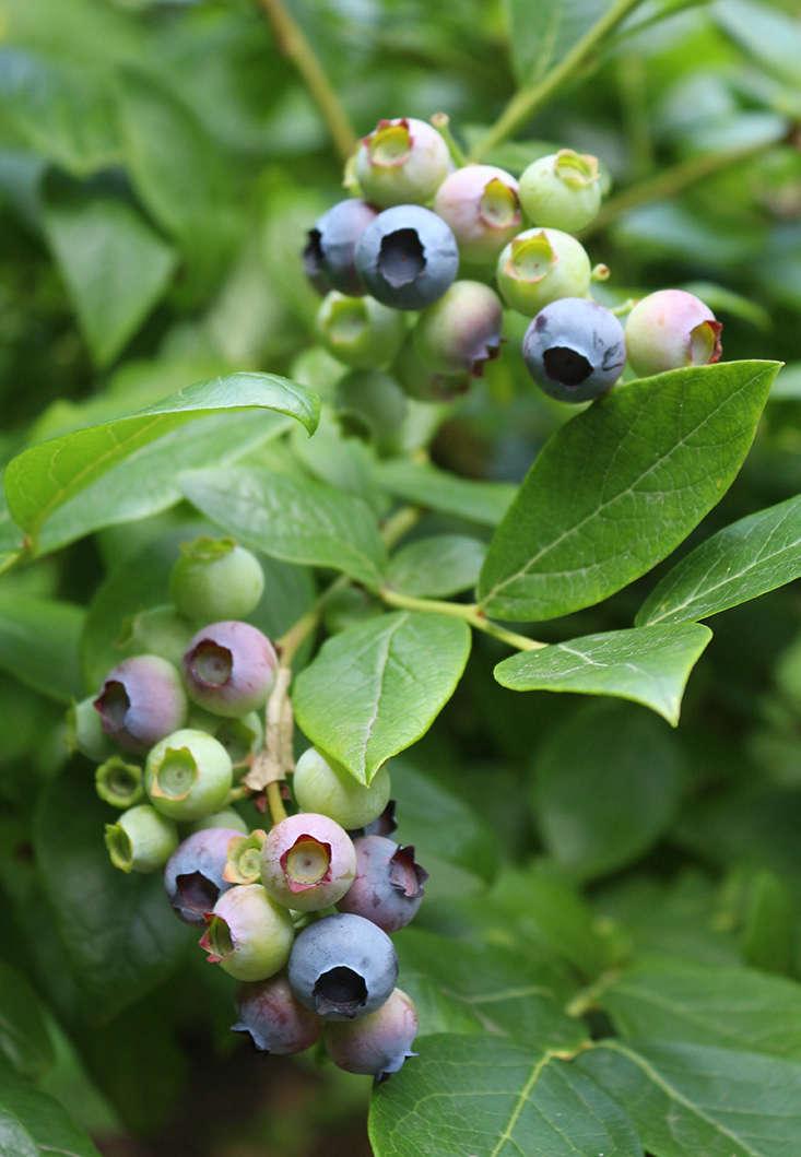 blueberries-for-shade-marieviljoen