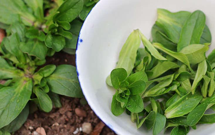 corn-salad-grows-in-shade-marieviljoen