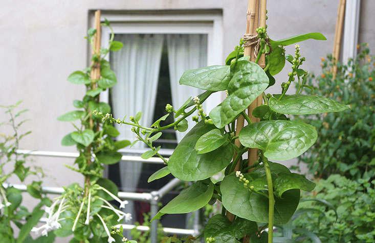 malabar-spinach-in-shade-marieviljoen