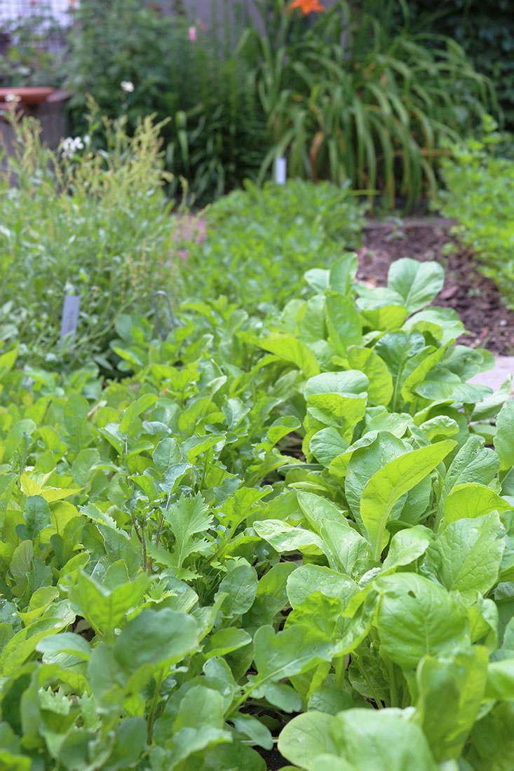 mustard-grows-in-shade-marieviljoen