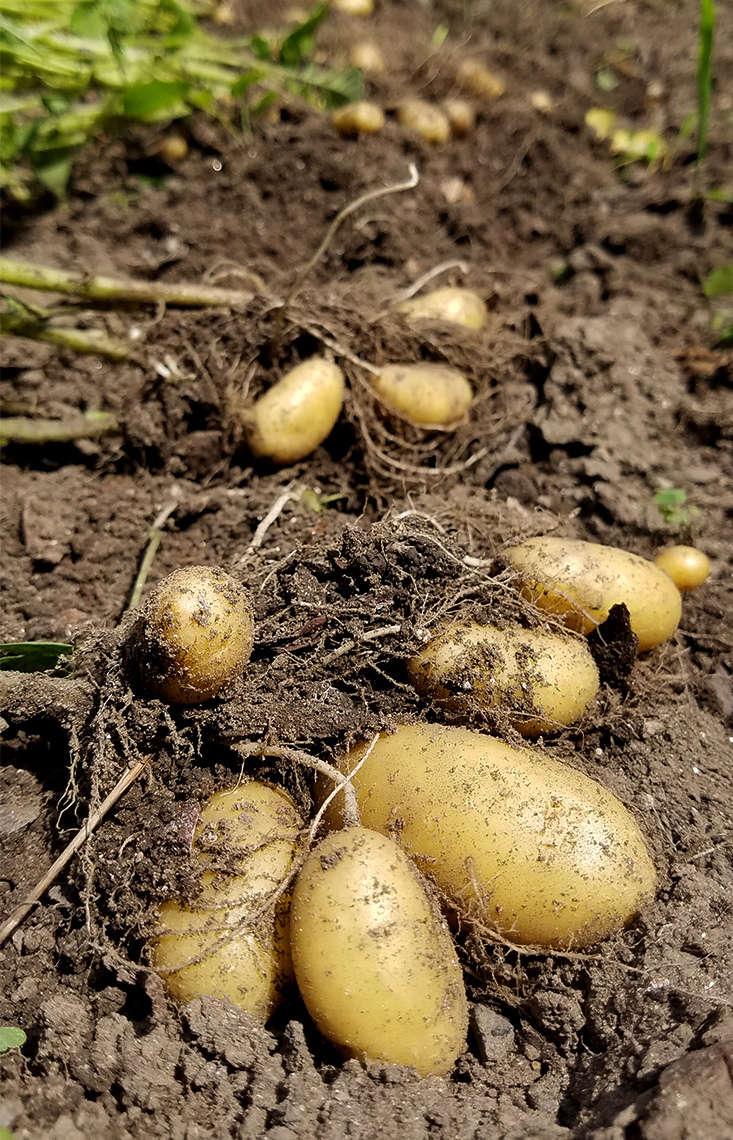 potatoes-in-semi-shade-marieviljoen