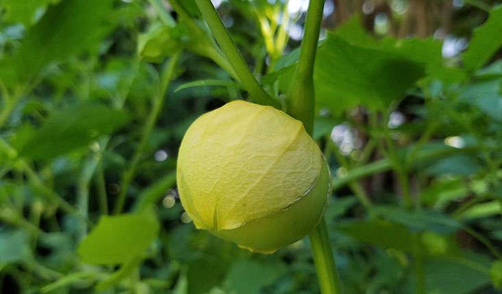 23 and me my favorite edible plants to grow in shade gardenista tomatillos grow in shade marieviljoen mightylinksfo