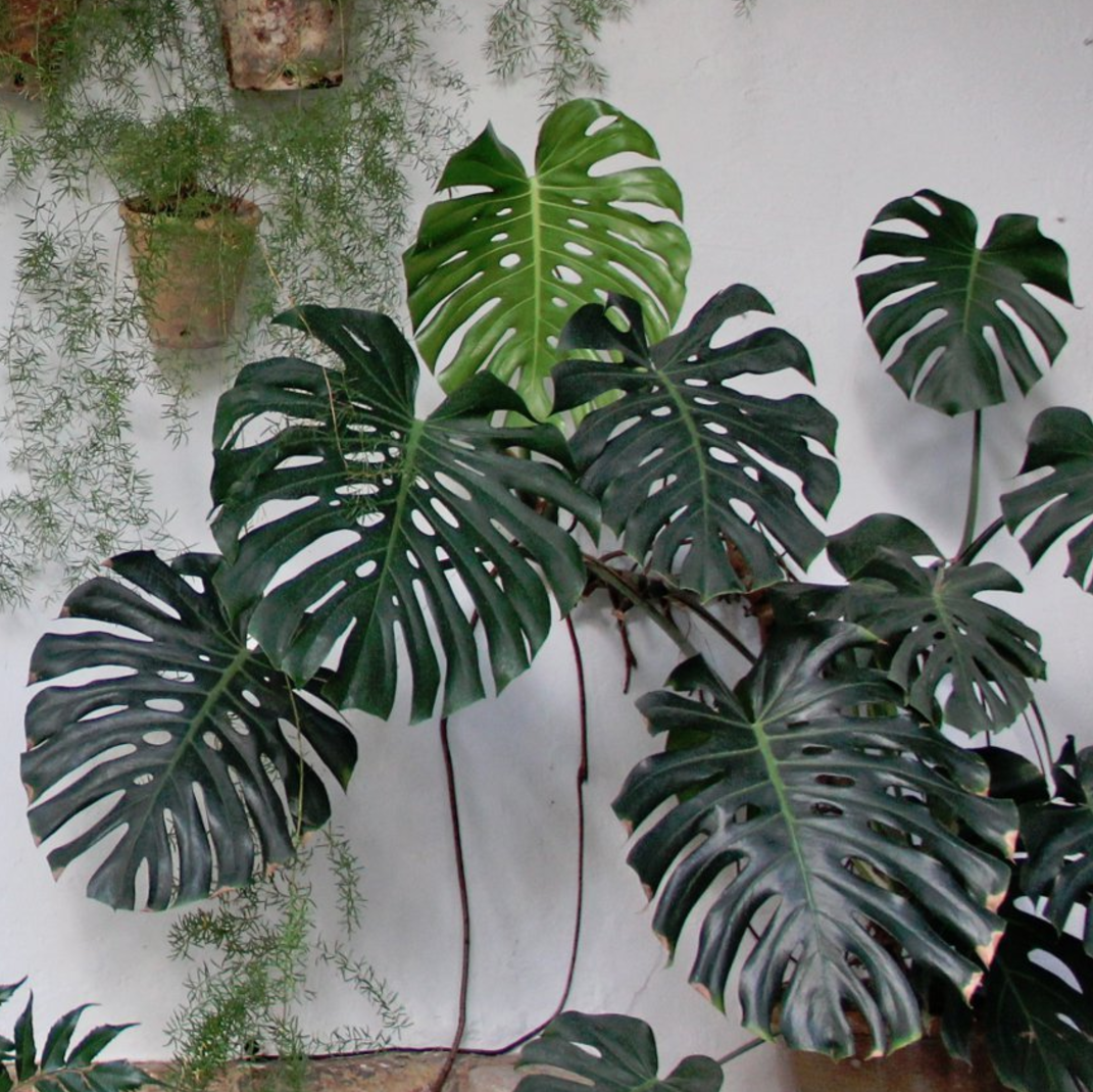 Monstera Deliciosa: Growing and Design Tips for a Tropical ...