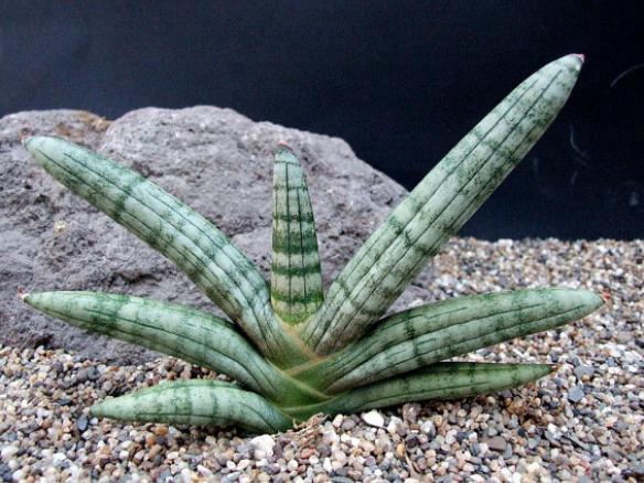Rare Boncel Snake Plant