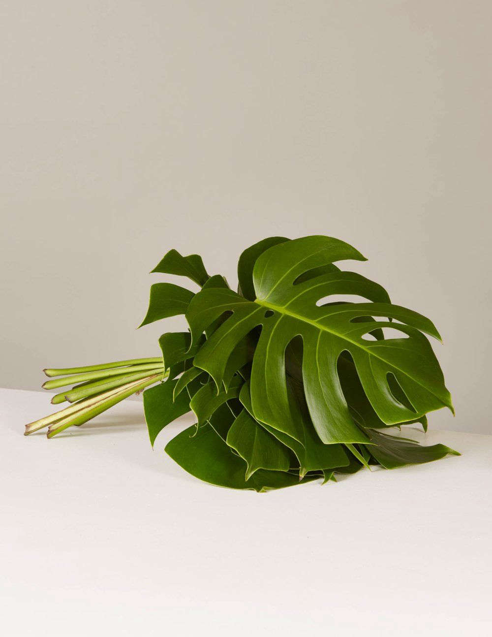 Monstera Deliciosa Growing And Design Tips For A Tropical Houseplant