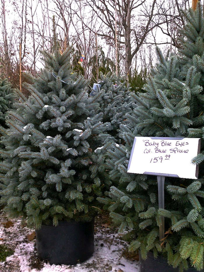 Superieur Diy Live Christmas Tree Blue Spruce