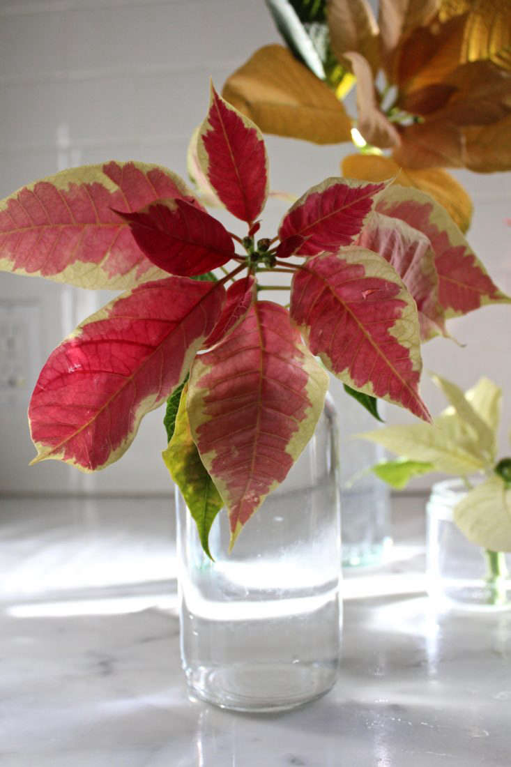 Poinsettia 'Christmas Beauty Marble' has dusty pink bracts outlined in cream.